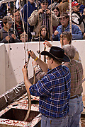 A Jaycee volunteer snake handler skins western diamondback rattlesnakes during the 51st Annual Sweetwater Texas Rattlesnake Round-Up March 14, 2009 in Sweetwater, Texas. During the three-day event approximately 240,000 pounds of rattlesnake will be collected, milked and served to support charity.