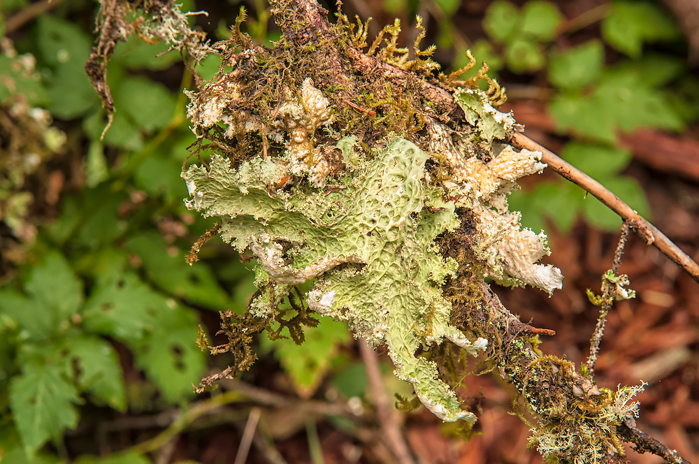 This strange and seaweed-looking lichen is very common in the dark wet forests on the Pacific Northwest. It grows in old-growth conifers, then eventually falls to the forest floor where it is often eaten by elk and deer.