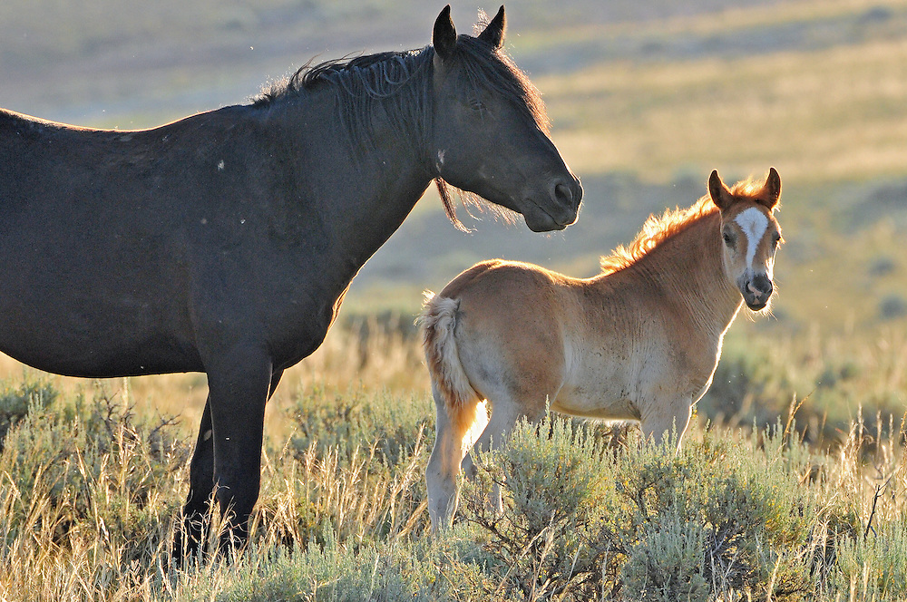 The black mustang stallion, Derby, and his young filly enjoy the warmth of the sun during the early morning hours at McCullough Peaks Herd Management Area.