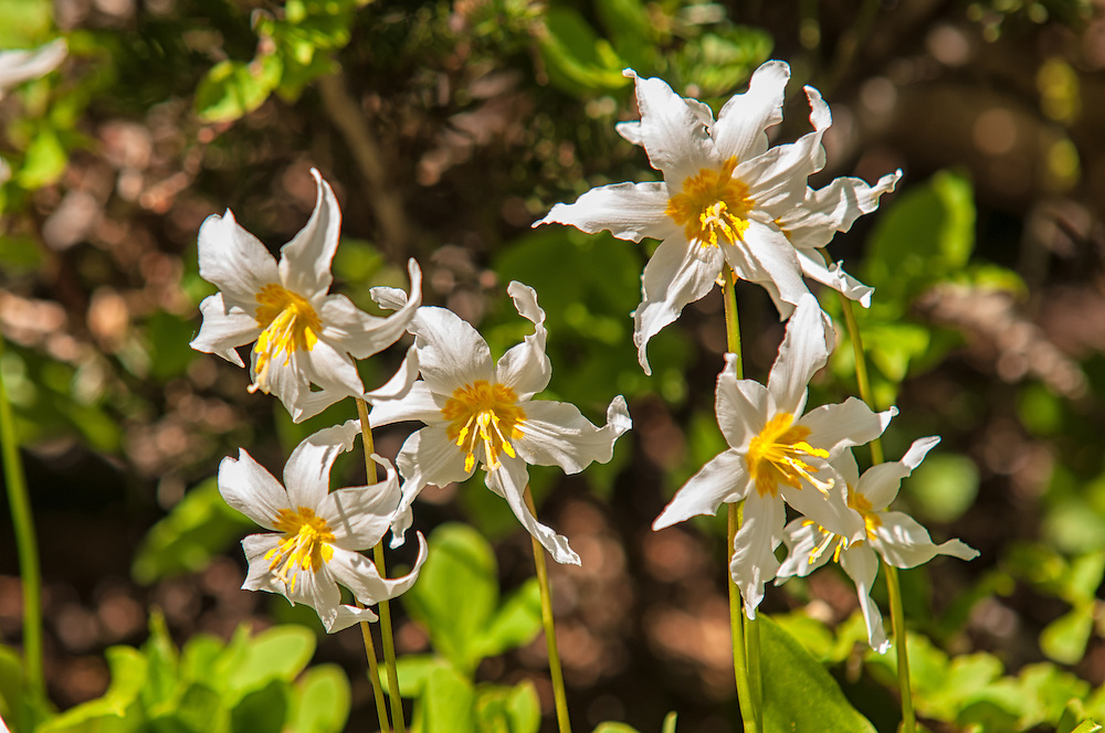 Close-up detail of avalanche lilies growing at the snow line on Mount Rainier on a beautiful sunny summer day.