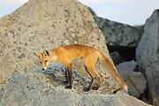 Red fox (Vulpes vulpes)  <br />Okotoks<br />Alberta<br />Canada