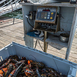 A bin of lobsters on the scale at the Friendship Lobster Co-op in Friendship, Maine. The standard weight for a bin of lobsters in Maine is 90 pounds.