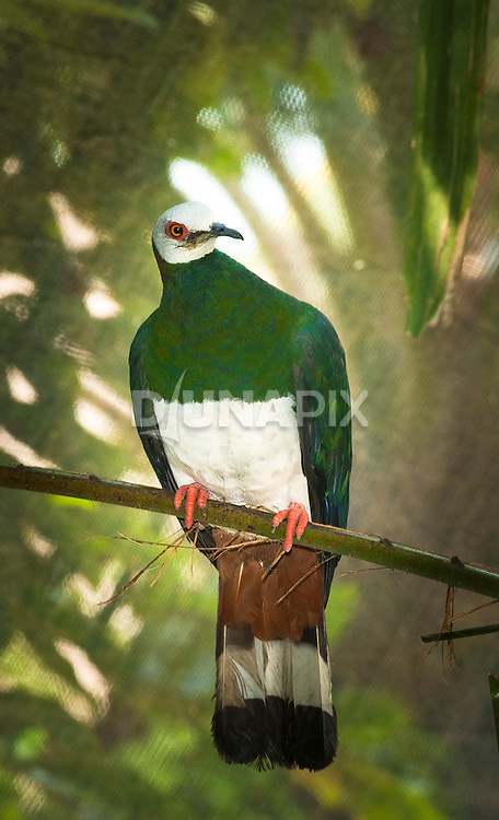 White-bellied Imperial-Pigeon (Ducula forsteni) at Bali Bird Park