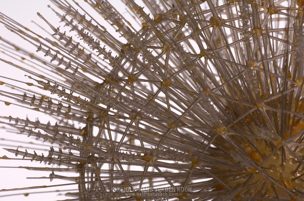 AUT, Österreich: Aulosphaera elegantissima, Radiolaria, Strahlentierchen, Einzeller, dieses Glasmodell stammt aus dem Werk der naturwissenschaftlichen Glaskünstler Leopold Blaschka (1822-1895) und Sohn Rudolf Blaschka (1857-1939). Zwischen 1863 und 1890 entstanden in der Dresdner Werkstatt Tausende Glasmodelle wirbelloser Meerestiere, die ihren Weg in Museen und Universitäten der ganzen Welt fanden. Diese Nachbildungen verblüffen bis heute, denn sie sind morphologisch fehlerfrei und halten naturwissenschaftlichen Betrachtungen bis ins Detail stand - die perfekte Verschmelzung von Kunst und Naturwissenschaft. Die Blaschkas hatten keine Lehrlinge und es gibt keine weiteren Nachfahren. Vater und Sohn haben das Geheimnis ihrer einzigartigen Technik mit ins Grab genommen, Blaschka-Sammlung, Institut für Zoologie, Universität Wien | AUT, Austria: Aulosphaera elegantissima, Radiolaria, monad, this glass model originated from the work of the scientific glass artists Leopold Blaschka (1822-1895) and his son Rudolf Blaschka (1857-1939). Between 1863 and 1890 thousands of glass models of invertebrates sea animals developed in the workshop in Dresden, which found their way in museums and universities of the whole world. These reproductions amaze until today, because they are morphologically exact and withstand scientific examinations in detail - the perfect fusion of art and natural science. The Blaschkas didn?t have apprentices and it gives no further descendants. Father and son took the secret of their inimitable technology also in the grave, Blaschka-Collection, Institute of Zoology, University Vienna |