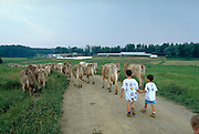 Boys walking cows back to barn  Shelburne Farm  Shelburne, Vermont