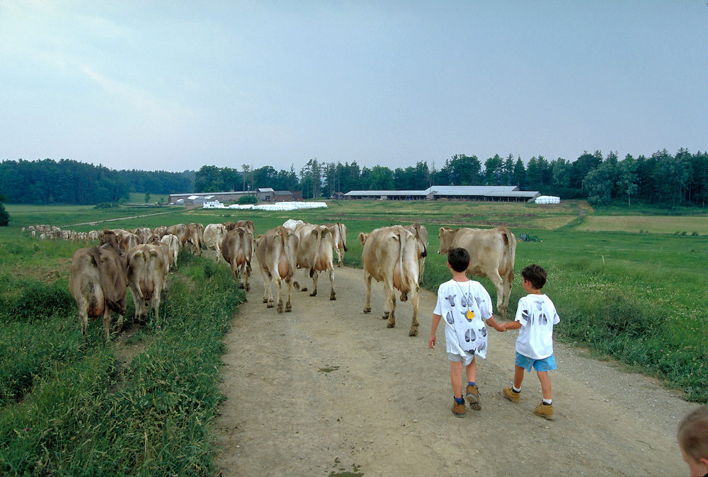 Boys walking cows back to barn  Shelburne Farm  Shelburne, Vermont