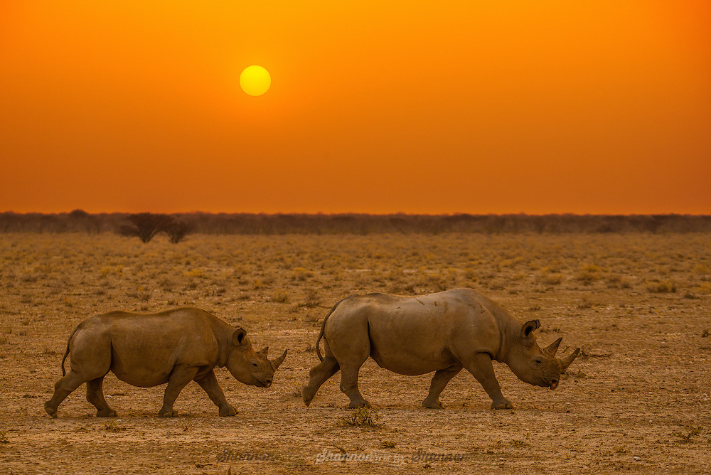 A Black Rhinoceros Mother and offspring at dusk in Etosha, Namibia.