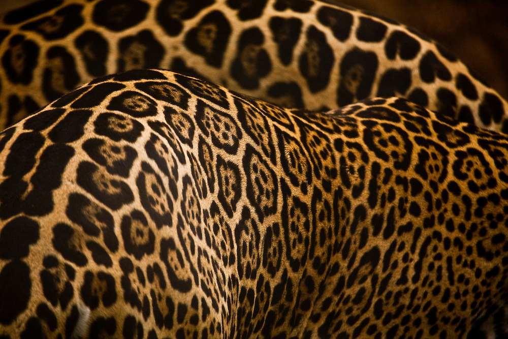 Cuiaba_MT, 22 de novembro de 2010...Onca-pintada (Panthera onca) no Zoologico da UFMT (Universidade Federal do Mato Grosso)..Foto: JOAO MARCOS ROSA  /NITRO..