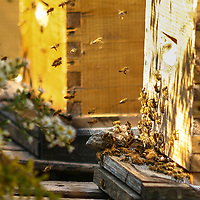 Busy honeybees buzzing around the entrance to their Langstroth hive box.
