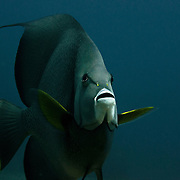 Andgel fish portrait.