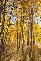 """Aspen at Fredrick's Meadow 5"" - Photograph of yellow aspen trees in the fall at Fredrick's Meadow near Fallen Leaf Lake, California."