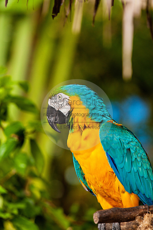 Blue and Gold Macaw at the Ardastra Gardens and Zoo in Nassau, Bahamas.