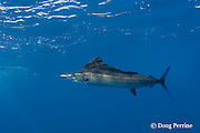 Atlantic sailfish, Istiophorus albicans ( considered by some to be a single species worldwide, Istiophorus platypterus ), chases a (hookless) teaser bait, off Yucatan Peninsula near Contoy Island and Isla Mujeres, Mexico ( Caribbean Sea )