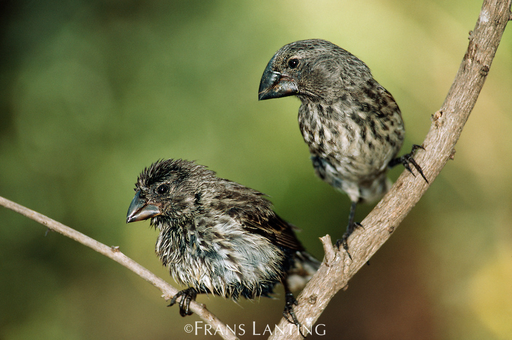Medium ground-finch, Geospiza fortis, and large ground-finch, Geospiza magnirostris, Galapagos Islabds