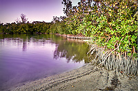 Red Mangroves along the edge of Hickory Island in Bonita Springs, Florida.