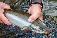 Releasing a Dolly Varden Trout (Char) on a remote stream on the Alaska Peninsula