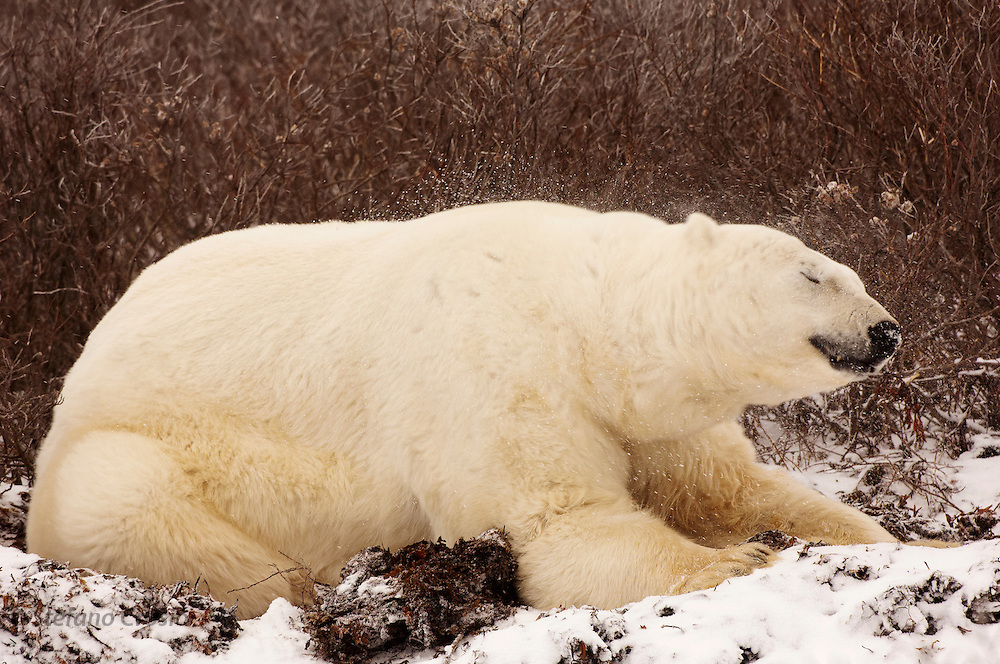 CANADA, Churchill (Hudson Bay).Polar bear (Ursus maritimus) shaking off snow