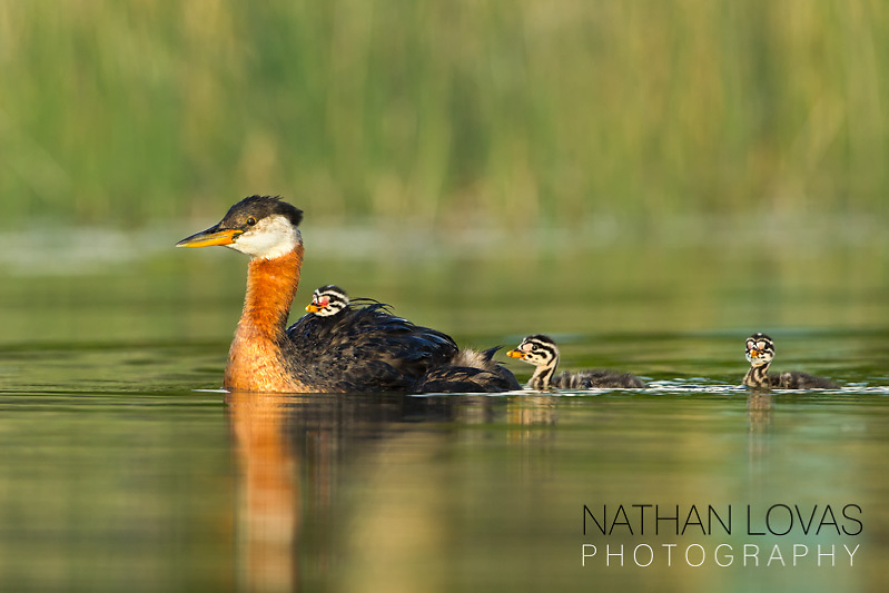 Red-necked Grebe with chick riding;  MInnesota.