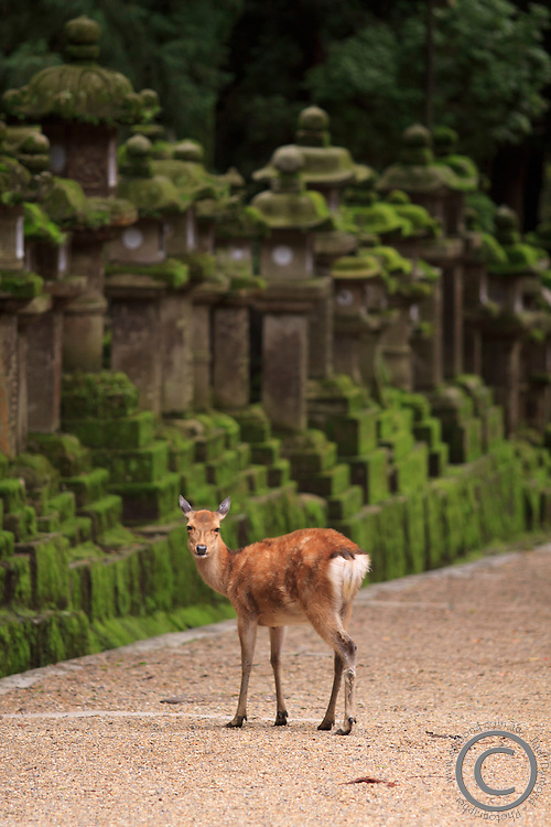 A wild deer stands next to a long line of stone lanterns at the entrance to Kasuga Taisha Shrine in Nara, Japan.