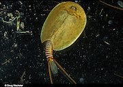 Tadpole Shrimp.  This endangered crustacean is found only in vernal pools in California. It is a living fossil. California, Central Valley