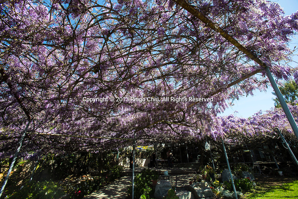 The wisteria vine blooming at a Sierra Madre home on March 14, 2013 near Los Angeles, California.  The wisteria vine is more than one acre in size and weighs 250 tons. It has more than 1.5 million blossoms every year with 40 blooms per square foot. The branches of this wisteria vine reach an 500 feet long. Horticultural experts have estimated the branches can grow 24 inches in 24 hours. The wisteria vine is a Chinese variety. It was planted in 1894 by William and Alice Brugman. The Guinness Book of World Records has certified the vine as the world's largest blossoming plant. (Photo by Ringo Chiu/PHOTOFORMULA.com).