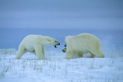 Polar Bear, (Ursus maritimus) Female charges intruding male while cub follows suit. Churchill, Manitoba. Canada.