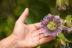 South America, Ecuador, Peguche Waterfall, hand holding tropical flower