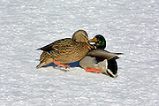 Normally the drake mallard is attaching the hen, here the situation is reversed.  The hen is attacking the drake