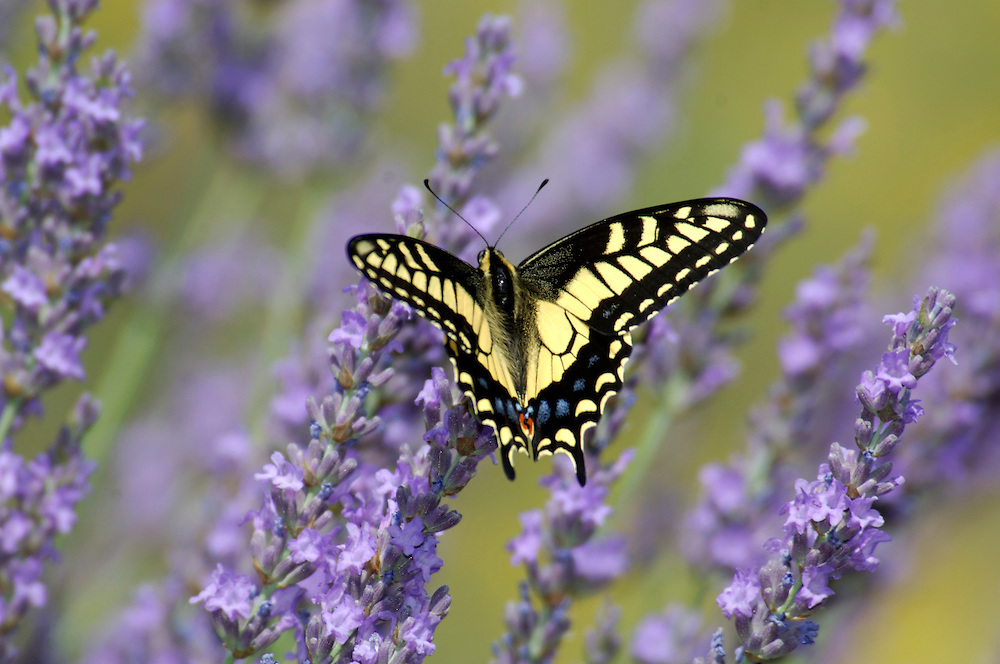 Western Tiger Swallowtail, (Pterourus rutulus) Butterfly, California, United States of America