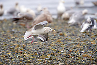 Thayer's Gull (Larus thayeri), Nanaimo, British Columbia, Canada   Photo: Peter Llewellyn