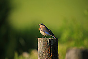 IDAHO. Deary. Western Bluebird (Sialia mexicana) perching on fence post in summer. June 2006 #bb060048