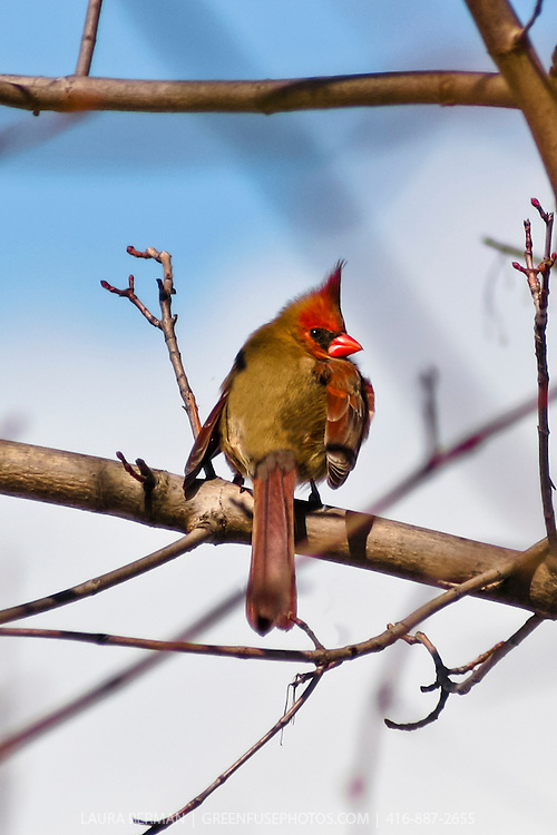 Female cardinal perchered on a branch and looking over her shoulder.