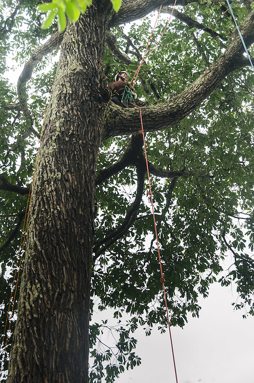 Climbing a Brazil nut tree, near Sobrado community.