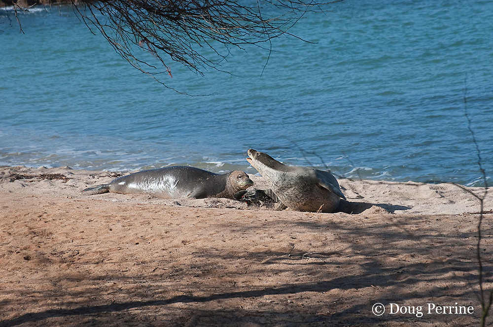interaction between two Hawaiian monk seals, Monachus schauinslandi, Critically Endangered endemic species, west end of Molokai, Hawaii ( Central Pacific Ocean )