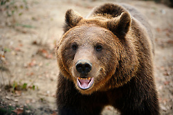 ROMANIA ZARNESTI 25OCT12 - A Eurasian brown bear takes a stroll at the Zarnesti Bear Sanctuary in Romania, funded by WSPA.....With over 160 acres (70 hectares) spread over a wooded hillside, it is Romania's first bear sanctuary and today houses 67 bears rescued from ramshackle zoos and cages at roadside restaurants.....jre/Photo by Jiri Rezac / WSPA....© Jiri Rezac 2012