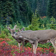 Two bucks at Mt. Rainier National Park, Washington