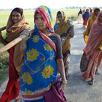 Women return home after undertaking work to strengthen a road as part of the NREGA (National Rural Employment Guarantee Scheme). By offering poor families up to 100 days work per day year, the NREGA has the potential to ensure that landowners are no longer the exclusive purveyors of work for the landless. Unfortunately the NREGA has suffered from administrative indifference and patchy implementation and the residents of Belauhi are lucky to be offered 12 days work per year as part of the scheme. ..Bypassed by government subsidies that direct resources towards the needs of larger land-owners, farmers in the hamlet of Belauhi used to only harvest two crops per year and one of these crops - the monsoon Khairf rice crop - would regularly be destroyed by rains. Training and advice provided by Oxfam partners GDS (Grameen Development Services) has allowed Belauhi's farmers to harvest three - and sometimes four - crops so increasing food security and allowing some to move beyond subsistence farming and begin selling farm produce. Crop varieties that can withstand the flooding of fields in the monsoon or the intense heat of summer, including the genetically modified NDR-97 variety of rice, are more suited to farming in an unpredictable climate. New crops including pulses and oil seeds have provided residents a more balanced diet. GDS train local farmers, including women, in new agricultural techniques: irrigation and drought resistant crops. GDS has also establish SHGs (Self Help Groups) and encourages the dissemination of new farming methods by supporting village meetings and workshops. ..Photo: Tom Pietrasik.Belauhi, Marajganj District, Uttar Pradesh. India.February 28th 2011