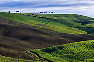 The top of a hill with cypress and maritime pin trees and wheat fields. In the neighbors of San Quirico d'Orcia, Orcia Valley, Italy. Taken on a sunny morning at the end of April
