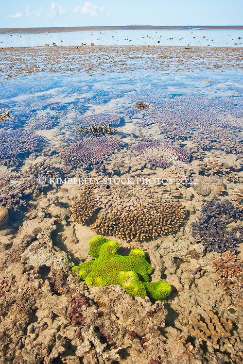 A brilliant green coral on Montgomery Reef in Collier Bay on the Kimberley coast.