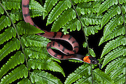 Tropical Flat Snake (Siphlophis compressus)<br /> Yasuni National Park, Amazon Rainforest<br /> ECUADOR. South America<br /> HABITAT &amp; RANGE: Usually found near or on the ground in tropical forests east of the Andes.