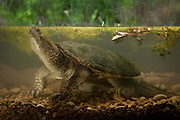 A common snapping turtle (Chelydra serpentina) photographed underwater. Central Texas. Temporarily captive. Please Note: The above water background is a digital composite.