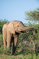 African elephant bull feeding, Marataba Private Game Reserve, Limpopo, South Africa