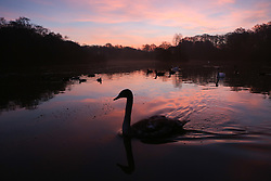 © Licensed to London News Pictures. 14/12/2016. Leeds, UK. A young swan glides across a lake as the sun rises at Golden Acre Park on a cold winter morning in Leeds, West Yorkshire. Photo credit : Ian Hinchliffe/LNP