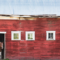 A horse peers from a barn classic red barn.