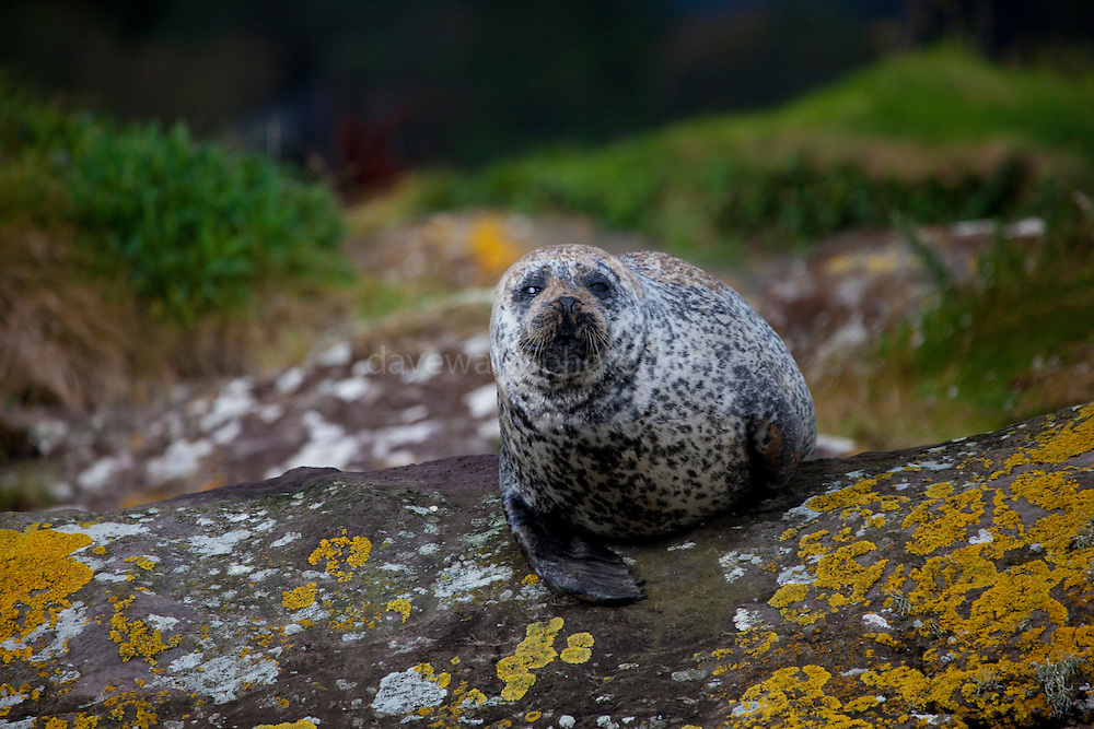 "Common seal, Phoca vitulina, near Garinish Island, Glengarrif, Co. Cork, Ireland. There's about 30,000 common seals in Irish waters, and these examples were pretty relaxed with the regular visits of the Garinish ""Blue Pool Ferry""."