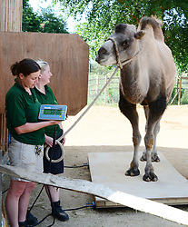ZSL London Zoo's annual animal weigh-in.<br /> Zookeepers weigh Gengis the Bactrian Camel, weighing 554 kg,  during the ZSL London Zoo annual animal weigh-in. From big cats to tiny frogs, keepers spend hours each year recording every animals vital statistics, enabling them to keep a close check on their overall well-being,<br /> London, United Kingdom. Wednesday, 21st August 2013. Picture by Nils Jorgensen / i-Images