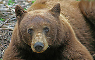 California Cinnamon black Bear<br />Sequioa National Park<br />California<br />Sierra Nevada Mountain Range