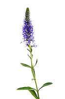 IFTE-NB-007586; Niall Benvie; Spiked speedwell; Veronica; spicata; Europe; Austria; Tirol; Fliesser Sonnenhänge; vegetation flowering plant; vertical; high key; blue white green; wild; dry grassland lime meadow; 2008; July; summer; strobe backlight; Wild Wonders of Europe Naturpark Kaunergrat