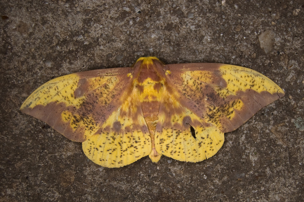 This large four-inch yellow moth was hanging around our front porch for a couple days in Tallahassee, Florida. After several bad attempts at photographing it, I finally got it right with a ring flash at about 2AM on the sidewalk.