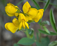 Yellow wildflower in Rocky Mountain National Park. Image taken with a Nikon D2xs camera and 105 mm f/2.8 VR macro lens.